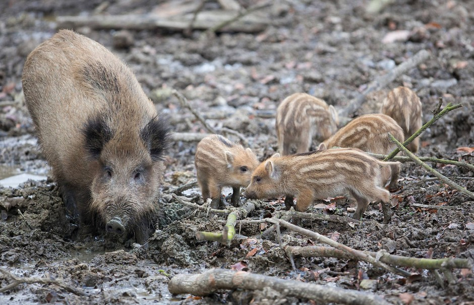 Eine Bache und ihre Frischlinge suhlen sich in einem Gehege vom Heimat-Tierpark Olderdissen in Bielefeld.