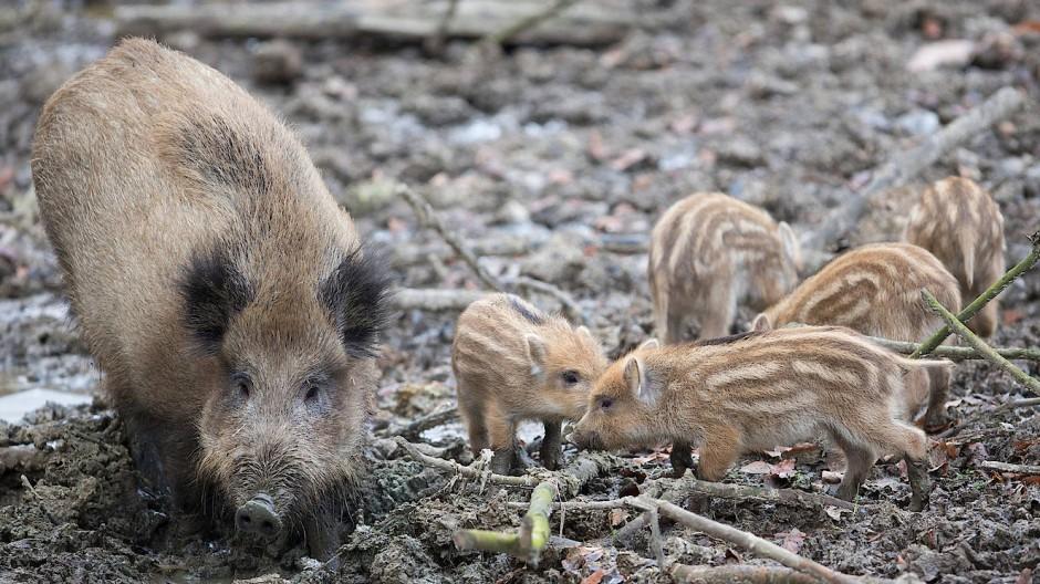 Experten fürchten, dass eine intensive Bejagung der Wildschweinbestände zu handwerklichen Fehlern  führen könnten. Muttertiere könnten geschossen und die Frischlinge laufen gelassen werden.