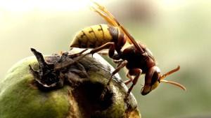 Hornissen attackieren Rentnergruppe