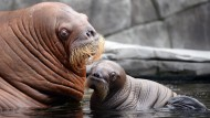 Klein, fett, süß: Walross-Baby im Tierpark