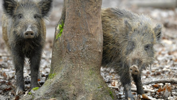 Tausende radioaktive Wildschweine in Bayern