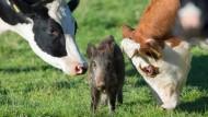 Kühe adoptieren verwaisten Frischling