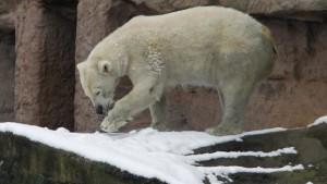 Zweites Eisbärbaby in Nürnberg tot