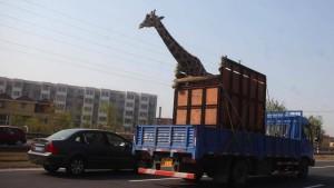 Giraffe stößt mit Kopf gegen Brücke
