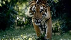 Dorfbewohner prügeln Tiger zu Tode