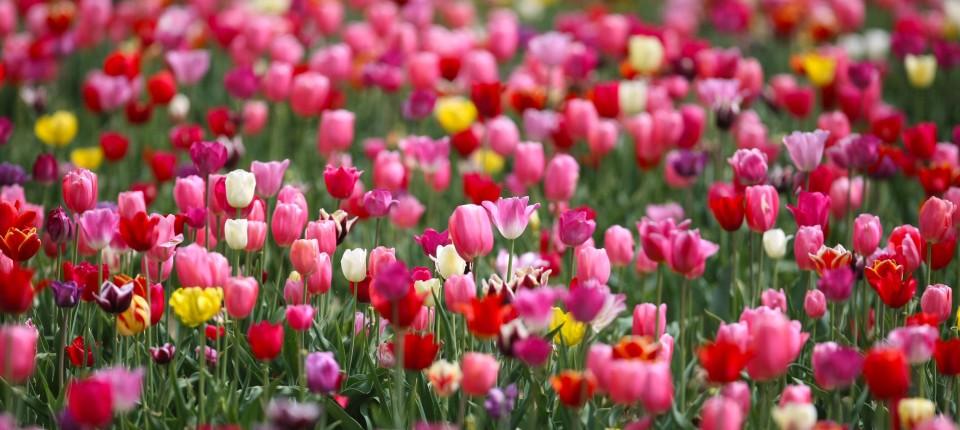 tulpen sind die beliebtesten gartenblumen. Black Bedroom Furniture Sets. Home Design Ideas