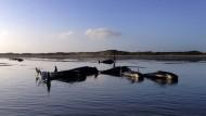 Helfer retten 60 gestrandete Wale