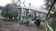 Zwei Wisente stehen unter einem umgestürztem Bau im Tierpark von Gera