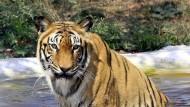 Zwei Tiger in niederländischem Dorf entlaufen
