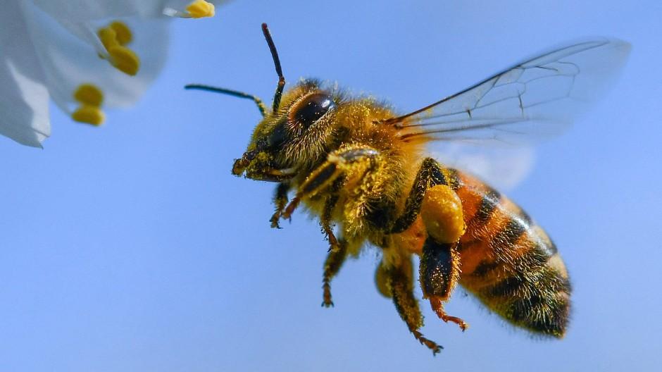 Honigbiene im brandenburgischen Markendorf im Anflug auf eine Blüte