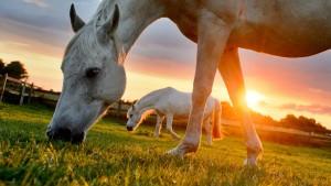 Das Land der Pferde setzt nicht mehr aufs Pferd