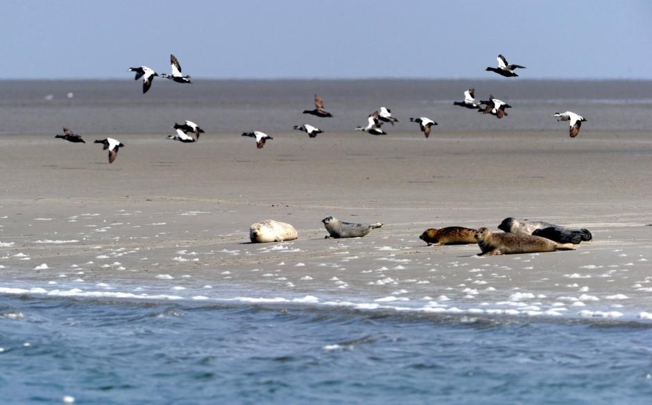 Sieht gemütlich aus: Seehunde liegen auf dem Norderoogsand im Wattenmeer vor Pellworm