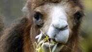 Sechs Kamele galoppieren durch Kiel