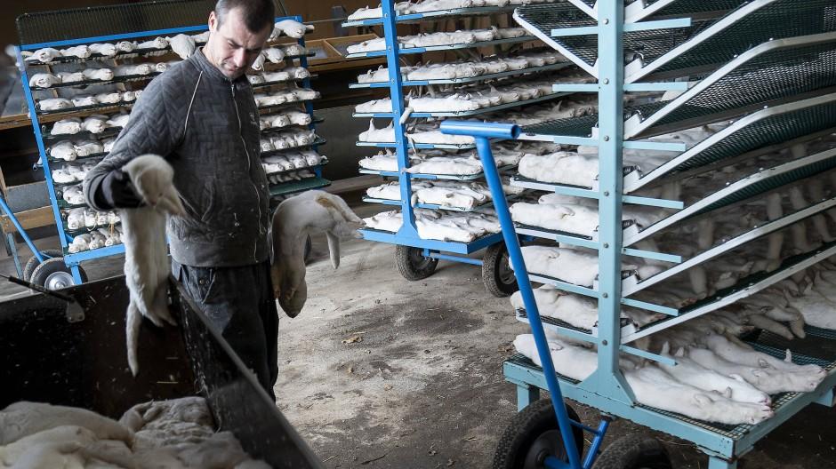 Auf einer Nerz-Farm im dänischen Naestved werden Tausende getötete Tiere verladen.