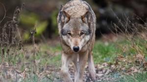 Kanzleramt macht Wölfe zur Chefsache