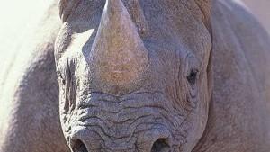 Erschießen Sie das Nashorn!