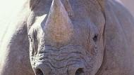 Nashorn-Wilderei nimmt dramatisch zu