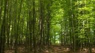 Nichts strahlt grüner als ein Buchenwald im sonnigen Mai: Der Schinderhannespfad führt von Kastellaun über Simmern nach Gemünden.