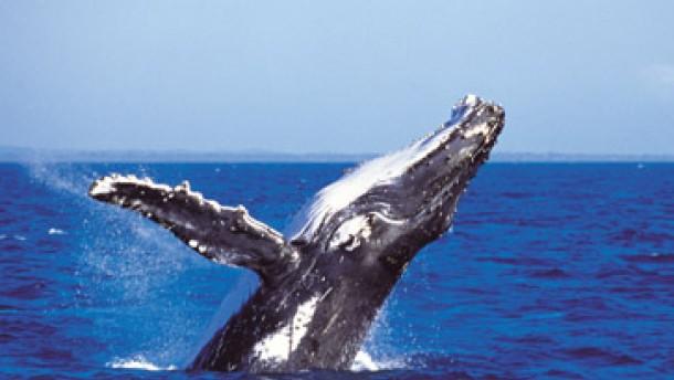 Die Qual der Wale