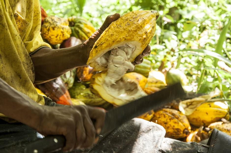 """Für die einen ist es Arbeit, für die anderen """"wie in der guten alten Zeit"""": Eine Kakaofrucht wird mit der Machete geöffnet."""