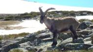 Wundersame Rettung: Vor hundert Jahren war der Steinbock in der Sierra de Gredos fast ausgestorben. Inzwischen leben dort wieder zwölftausend Tiere.