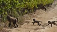 Raubzug: Paviane marodieren auf einem Weingut in Constantia vor den Toren von Kapstadt. Die Affen sind inzwischen zur Plage geworden.