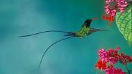 Das ist ein Wimpelschwanz und diese Kolibriart gibt es nur auf Jamaika.