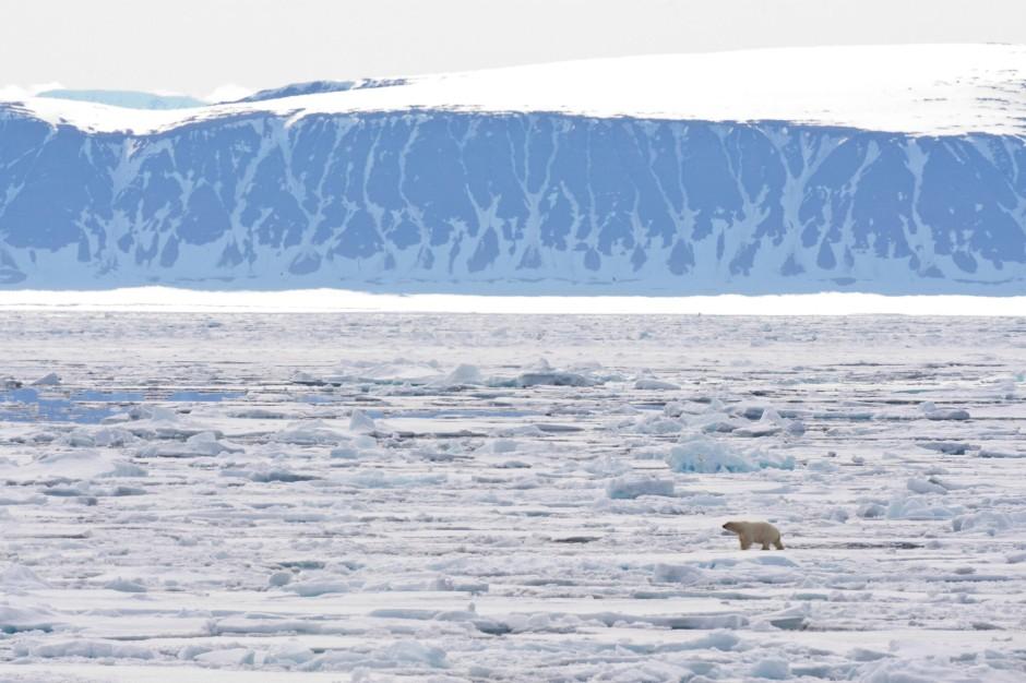 Das Gesicht des Klimawandels: Ursus maritimus auf Treibeis.