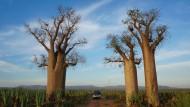 Große Baobabs, auch Affenbrotbäume genannt, in einer Sisal-Plantage, die aussieht wie eine Armee bösartiger, grüner Trolle