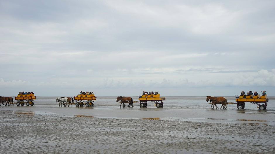 Hoch auf dem gelben Wagen geht es mit Pferden durchs Wattenmeer.