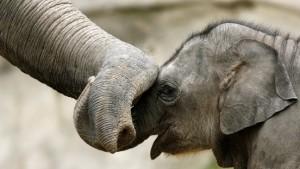 Ein Waisenhaus für Elefanten
