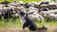 Ein Bild von einem Hund: Das ist Betty beim Schäferurlaub im Havelland, im Hintergrund die widerspenstigen Schafe, ausnahmsweise relativ aufgeräumt.