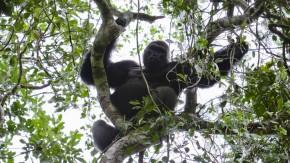 Der Herrscher des Regenwalds: Ein Flachland-Gorilla zeigt Präsenz.