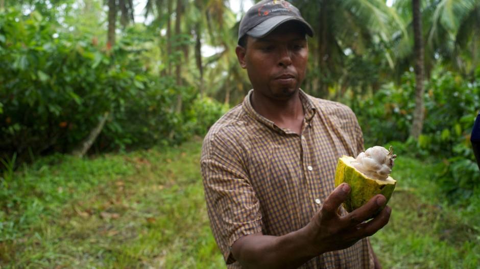 Harte Schale, glibbriges Fruchtfleisch, begehrte Bohnen: Die reife Kakaofrucht.