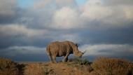Seit fünfzig Millionen Jahren leben Nashörner auf der Erde – vielleicht nicht mehr lange, denn für ein Kilo Rhinozeroshorn wird eine Million Dollar gezahlt.