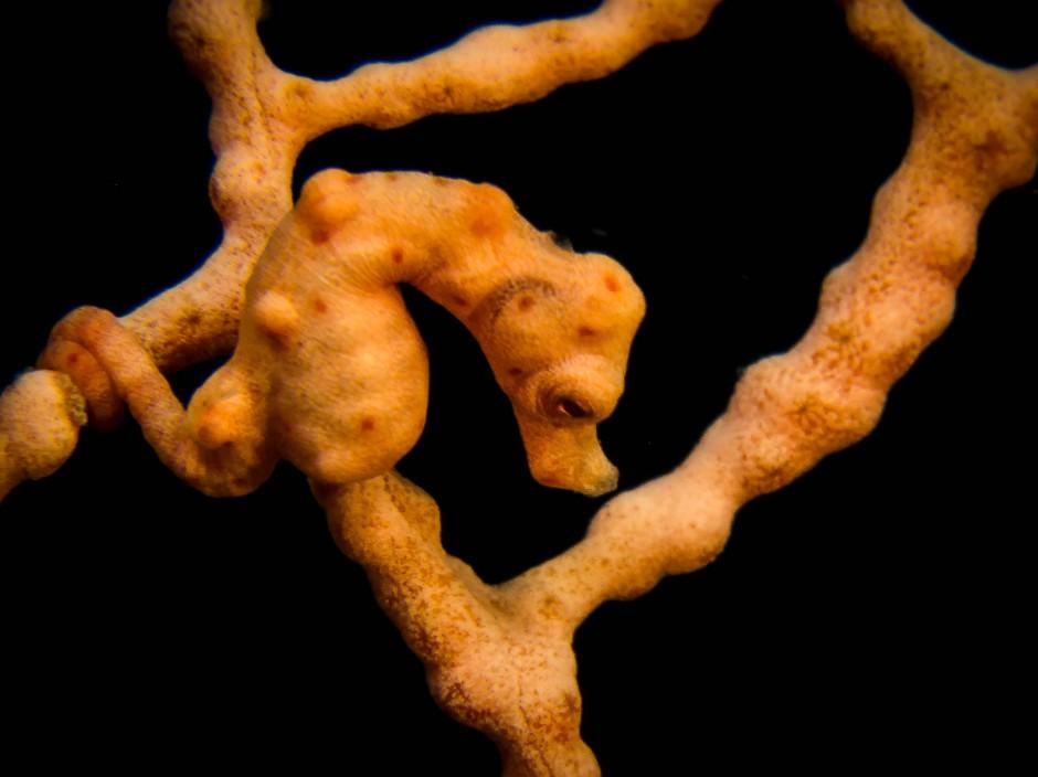 Winzige Schönheit: Pygmäenseepferdchen