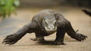 Komodowarane sehen nicht nur furchteinflößend aus, sie sind auch zum Fürchten. Denn sie scheren sich nicht darum, dass der Mensch die Krone der Schöpfung ist. Eine Reise in die Urzeit Indonesiens zu den größten Echsen der Erde.