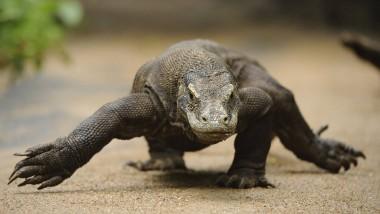 Ich bin hier der Chef: Wenn ein Komodowaran im Anmarsch ist, sollte man besser den Weg frei machen.