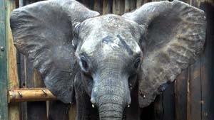Elefanten sind die besseren Menschen