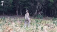 Zu Australien gehört natürlich auch das Känguruh