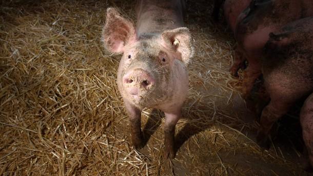 Hessische Bauern fordern Schlachthof im Land