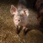 Wohin mit dem Schwein? In Hessen gibt es laut Bauernverband nicht genug Schlachthöfe.