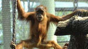 Neues Quartier für die Orang-Utans