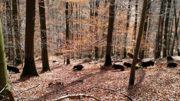 Wachsende Zahl an Wildschweinen macht Jaegern das Leben schwer
