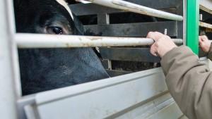 Umweltministerin will Datenbank für Tiertransporte
