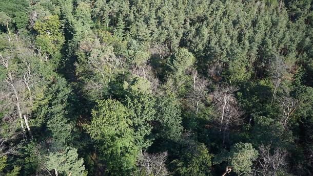 Der Frankfurter Stadtwald stirbt