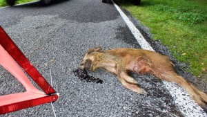Frau nach Kollision mit Wildschwein im Auto verbrannt