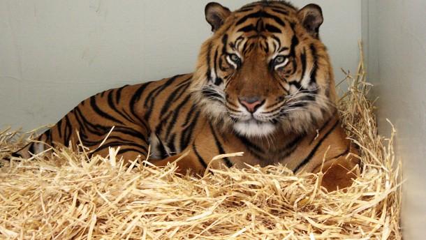 Frankfurter Zoo um eine Großkatze reicher