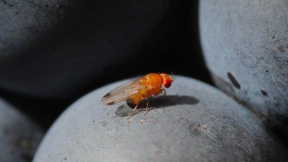 Steht auf Rot: Die Kirschessigfliege