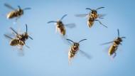 Ungeliebte Nachbarn: Wenn Wespen in Haus oder Garten ihren Staat gründen, dann hilft entweder Geduld oder Geld für einen Experten.